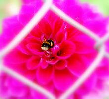 Bumble bee on Dahlia by joewdwd