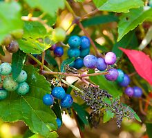 Purple Berries by Jeff Notti