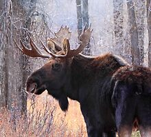 Bull Moose in Teton N.P., Wyoming by Ann  Van Breemen