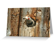 Northern Flicker, red-shafted Greeting Card