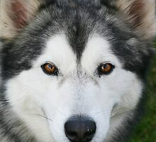 Dexter the Malamute - Maraylya by shmoo