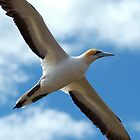 Soaring Gannet by Hadleigh Thompson