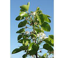 Pear Blossom Photographic Print