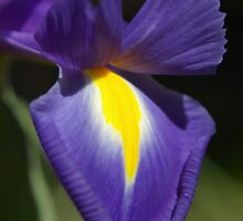 Blue Magic - Dutch Iris by nicolebartsch