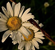 Daisies And Rust At Last Light by TeresaB