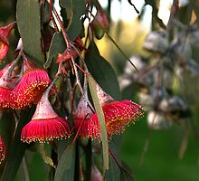 red flowering gum by Cheryl Ribeiro
