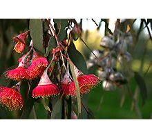 red flowering gum Photographic Print