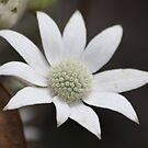 Flannel Flower by Kelly Robinson