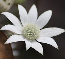 Flannel Flower by Kelly Robinson