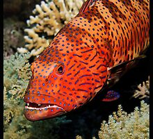 Coral Grouper by Christa747