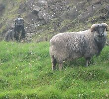 Faroese sheep by Mark Prior