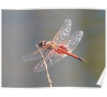Dragonfly, Gibb River Road, Western Australia Poster