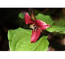 Purple Trillium (Trillium erectum) Photographic Print
