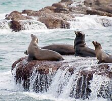 California Sea Lions by Jennifer Stuber