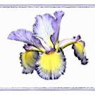 Iris On White by Teresa Zieba