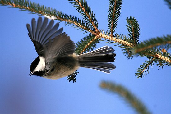 """  Chickadee..dee..dee..dee  "" by fortner"