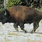 Running Bull in Yellowstone N.P. by Ann  Van Breemen
