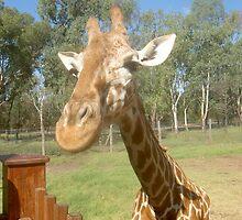 Giraffe by blueypics