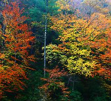 AUTUMN BEECHES by Chuck Wickham
