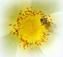 Fly on white rose by ©The Creative  Minds