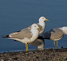 Seaguls by Corey Bigler