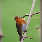 Robin Redbreast by Franco De Luca Calce