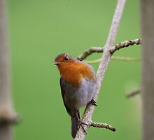 Robin Redbreast by Franco De Luca Calce