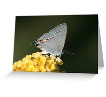 Butterfly, Gray Hairstreak Greeting Card