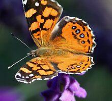 Butterfly, West Coast Lady by tonybat