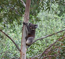 Koala in a Eucalyptus Tree by blindskunk