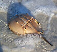 Horseshoe Crab Washing In by Caren