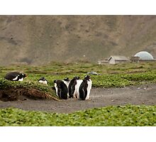 Adolescent Gentoos hanging out Photographic Print