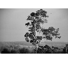 A Giant Above The Rest - Eucalyptus Tree Photographic Print