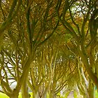 dark hedges by imagegrabber