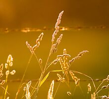 Golden Grass by Ben Loveridge