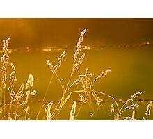 Golden Grass Photographic Print