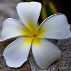 Frangipani's (Plumeria) up close by PhysioDave