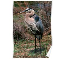 Great Blue Heron posing Poster