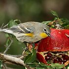 Yellow-rumped Warbler and pomegranate by tonybat