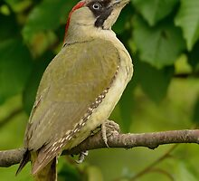 Green Woodpecker - III (Picus viridis) by Peter Wiggerman