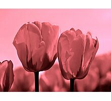 Blushing Tulips Photographic Print