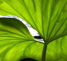 Iluminated Leaf  by Haydee  Yordan