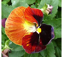 Pretty Pansy Photographic Print