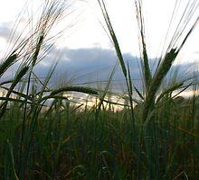 Wheat Field by petegrev