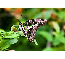 Tailed jay Photographic Print