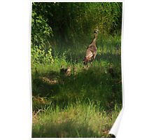 Baby Turkeys with Mom Poster