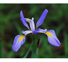 Puple Iris Photographic Print