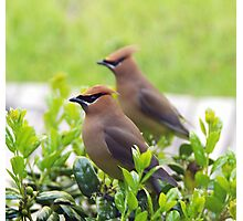 Cider Waxwing Photographic Print