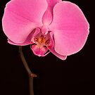 Portrait of an Orchid by Rob Lodge