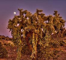 Moonlit Cholla by Sue  Cullumber